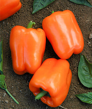 Pepper, Sweet, Orange Blaze Hybrid, , large